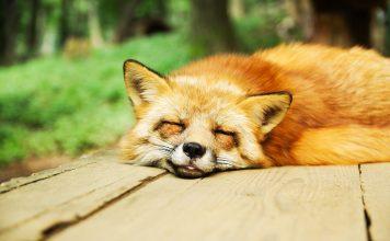 uyku uyku problemi tilki
